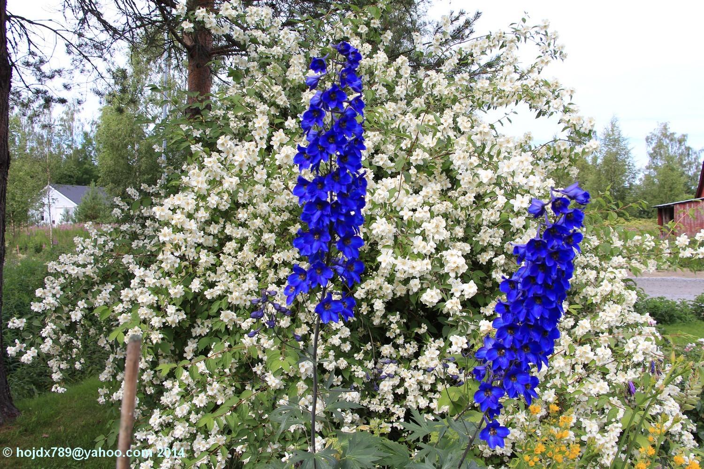 blomster i Nykarleby