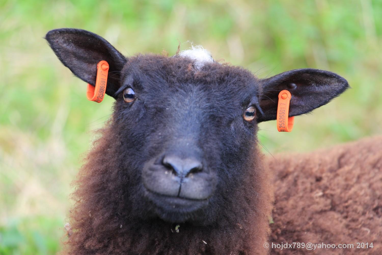fåret Får